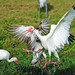 Small photo of American White Ibis attack (Eudocimus albus)