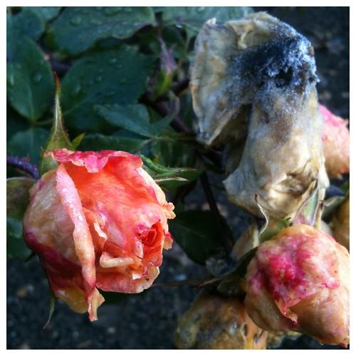 Rose Fungi