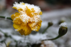snow on marigold 057