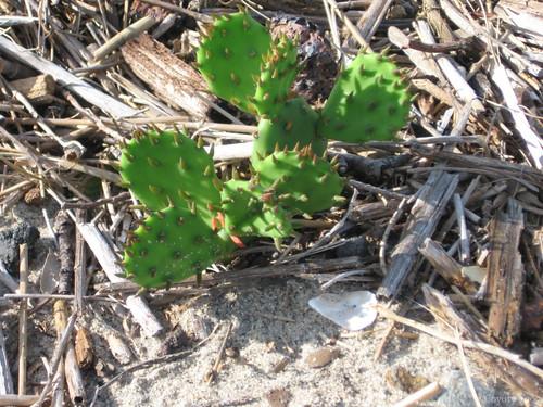 Connecticut coastline cactus by Coyoty