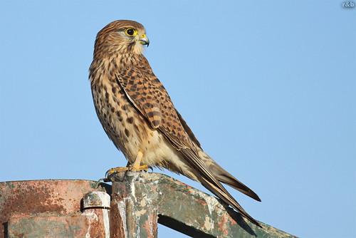 Peneireiro-vulgar (Falco tinnunculus)