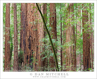 Redwood Forest, Muir Woods