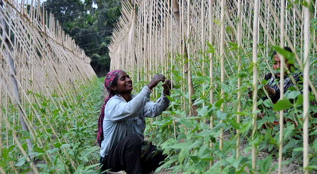 A woman sits on the ground and tends to her green bean stalks.