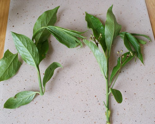 Yponomeuta plumbella larval feeding signs