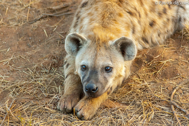 A Young Hyena