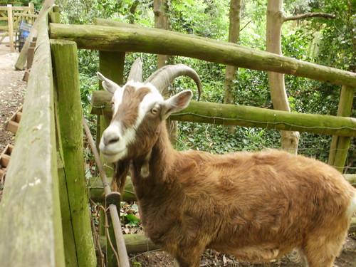 Goat at Buttercups Goat Sanctuary