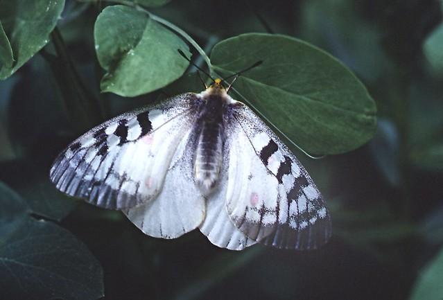 Parnassius clodius (Clodius Parnassian)
