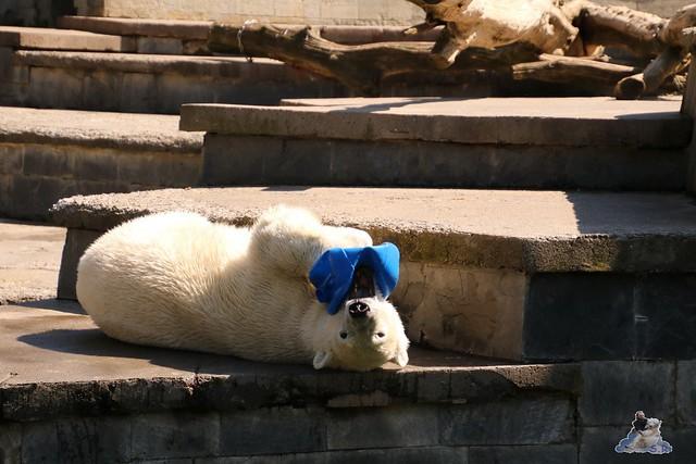 Eisbär Fiete im Zoo Rostock 07.05.2016  0149