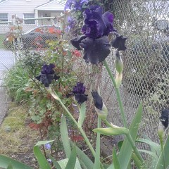 #superstition #iris #flowers #acrossleather