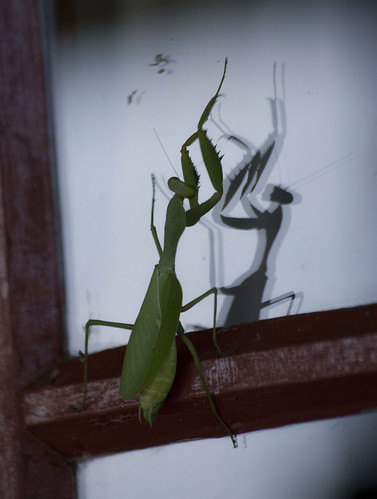 Preying Mantis, KZN, South Africa