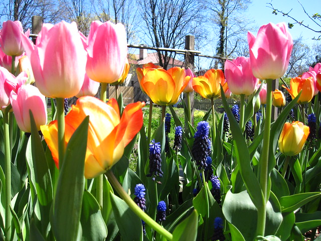 Tulips and muscari in bloom near the Children's Garden. Photo by Rebecca Bullene.