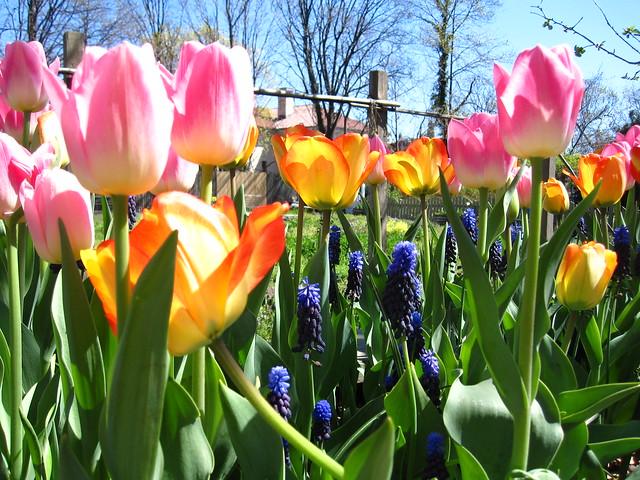 Tulips and muscari in bloom near the Children's Garden. Photo by Rebecca Bullene.