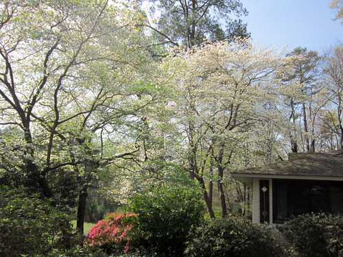 our GIANT Dogwood trees. LOVE!