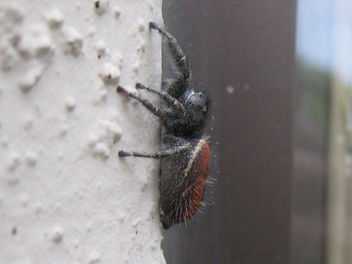 Red-backed Jumping Spider 2