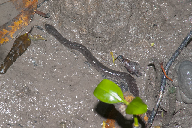 Crab-eating water snake (Fordonia leucobalia)