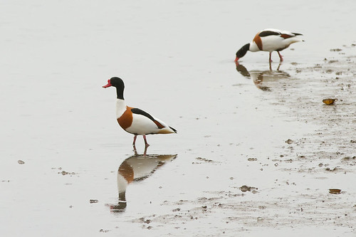 Shelducks on Doxey Marshes by AndyStraw