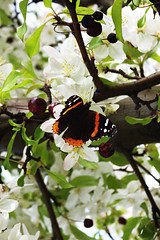 butterfly with cherries 2471