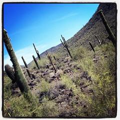 Long tide. Still in AZ. #desert #cactus