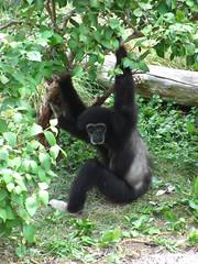 chimpanzee, animal, zoo, mammal, great ape, fauna, new world monkey, ape, wildlife,