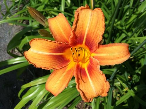 Nantucket flower 6