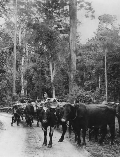 timber logging queensland bullocks statelibraryofqueensland slq bullocky