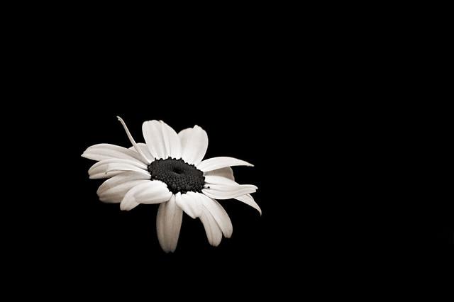 Daisy in the dark pops digital monochrome flower photo monochrome wedding black and white flower names picnik tumblr themes photobucket types of mightylinksfo