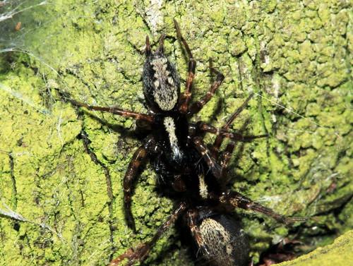 Spider 8988