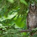 eastern screech-owlet by qmnonic