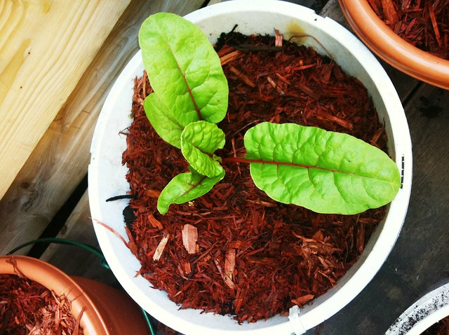 Using Cedar Chips When Container Gardening Why And How