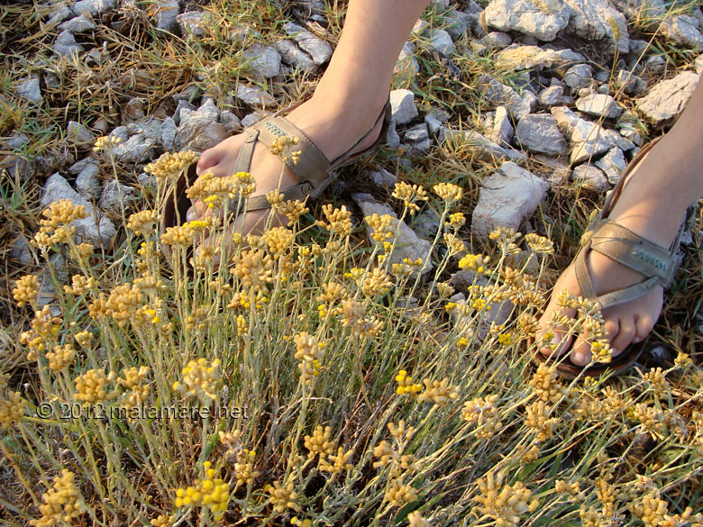 picking immortelle at down plant