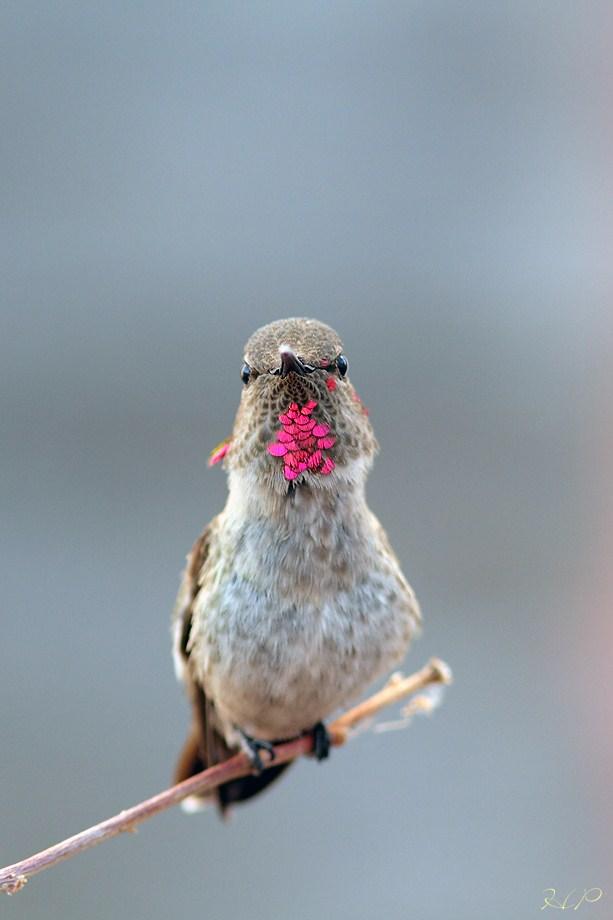 immature mele Anna's Hummingbird 070812-3