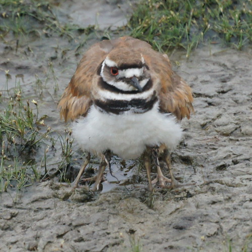 Baby Killdeer with Parent