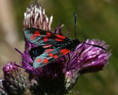 Zygaena filipendulae (6-spot Burnet)