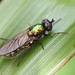 Soldierfly- Chloromyia formosa - natural light