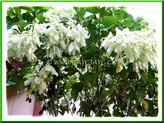 Mussaenda philippica 'Aurorae', slowly losing its glorious off-white bracts, July 27 2012