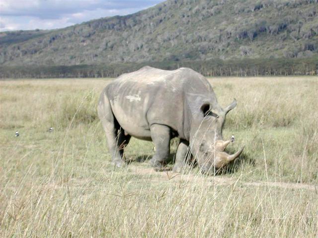 Furious Rhino!