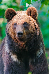 Another bear portrait