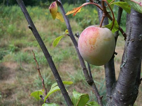 a single plum