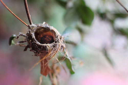 baby hummingbird nest
