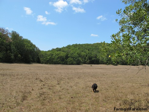 (22-7) The very brown front field where we have 33 sheep grazing because there isn't anywhere else to put them - FarmgirlFare.com