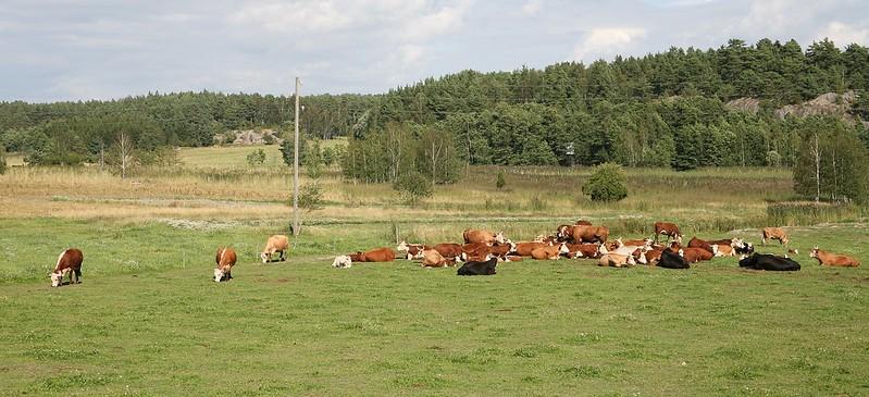 Kor på Åbolands skärgård