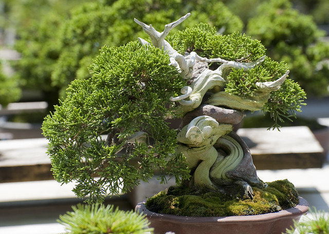 Bonsai, specie, shohin, mame