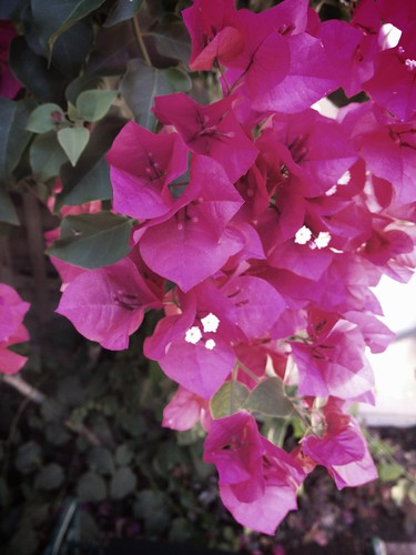Day 266 of Project 365: Bougainvillea