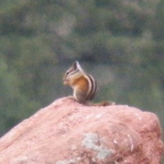 chipmunk dining