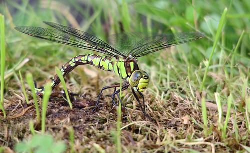 Southern Hawker?