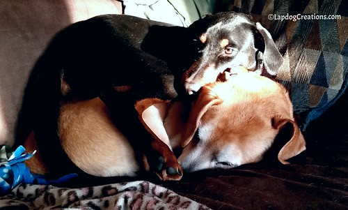 Sisterly Love, Penny & Sophie Love to Snuggle #DobermanPuppy #HoundMix #DogCuddles #LapdogCreations ©LapdogCreations