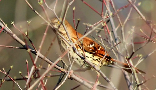 Brown Thrasher trying to hide