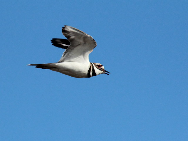 Killdeer in flight 20120402