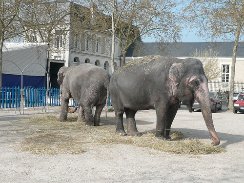 Circus elephants at Chavigny
