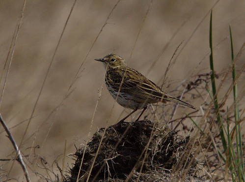Meadow Pipits